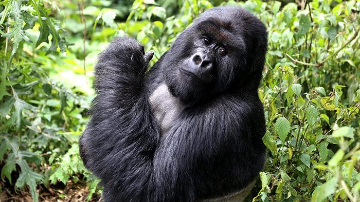 Gorillas_Rwanda_Africa