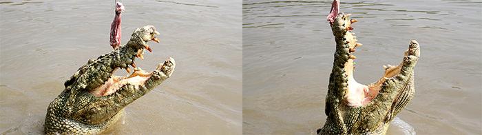 Jumping_Crocs_Adelaide_River_Northern_Territory_Australia_Davidsbeenhere