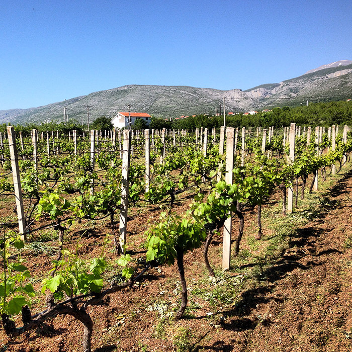 Vineyard_Mostar_Bosnia_Herzegovina