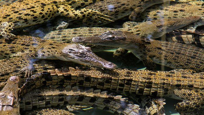NT-crocs-crocosaurus-cove-davidsbeenhere