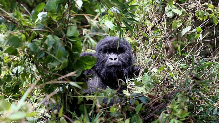 Guide_Gorilla_Trekking_Safaris_Rwanda_Africa_Davidsbeenhere1