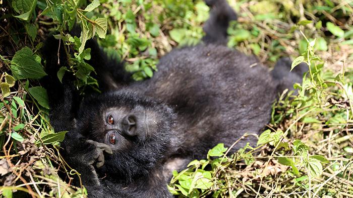Guide_Gorilla_Trekking_Safaris_Rwanda_Africa_Davidsbeenhere2