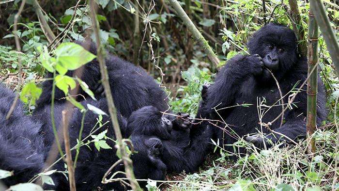 Guide_Gorilla_Trekking_Safaris_Rwanda_Africa_Davidsbeenhere3
