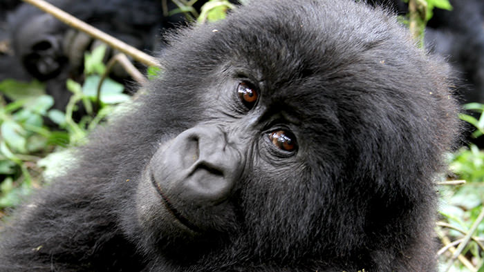 Guide_Gorilla_Trekking_Safaris_Rwanda_Africa_Davidsbeenhere4