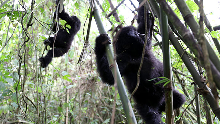 Guide_Gorilla_Trekking_Safaris_Rwanda_Africa_Davidsbeenhere6