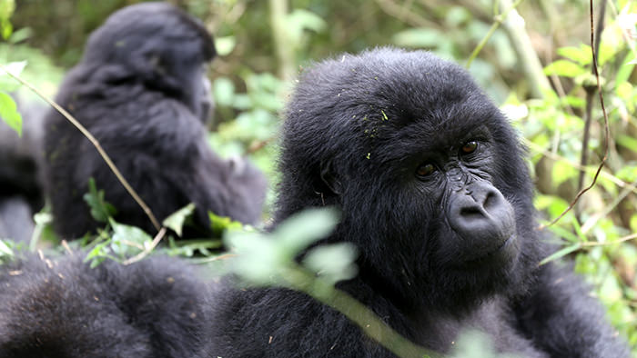 Guide_Gorilla_Trekking_Safaris_Rwanda_Africa_Davidsbeenhere9