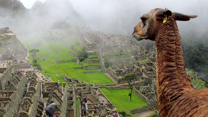 Llama_Machu_Picchu_Peru_South_America_Davidsbeenhere_HappyPlacesHappyFaces