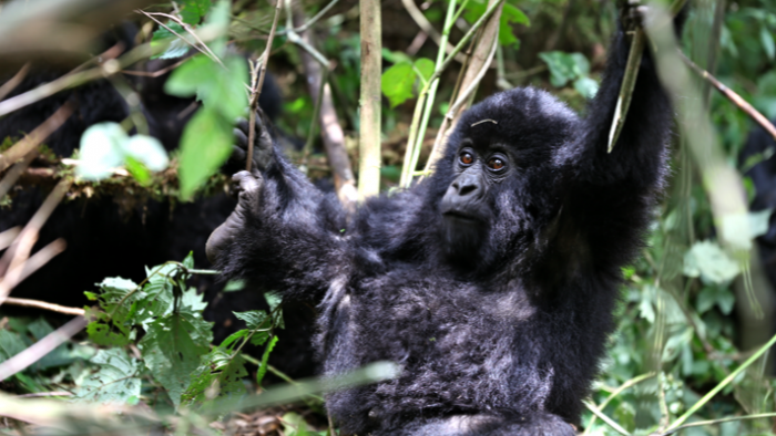 Gorilla_Trekking_Safaris_Rwanda_Africa_Davidsbeenhere