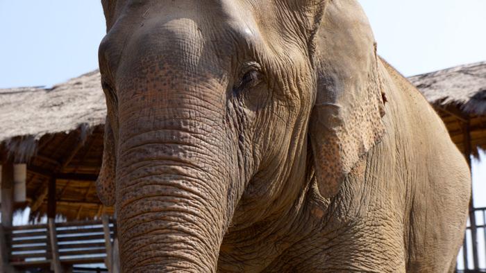 elephant-nature-park-asian-elephant-close-up-davidsbeenhere
