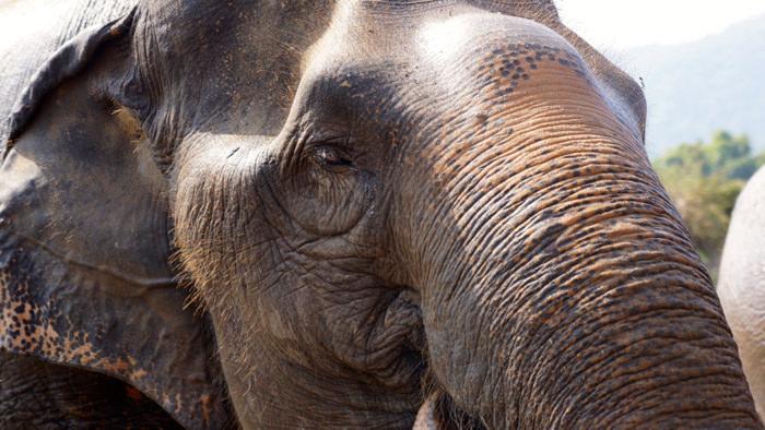 elephant-nature-park-asian-elephant-davidsbeenhere