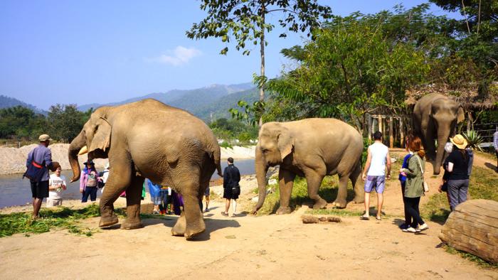 elephant-nature-park-asian-elephants-feeding-time-davidsbeenhere