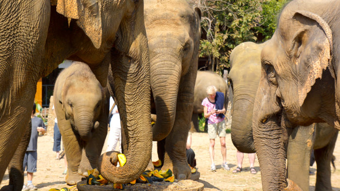 elephant-nature-park-elephant-herd-davidsbeenhere