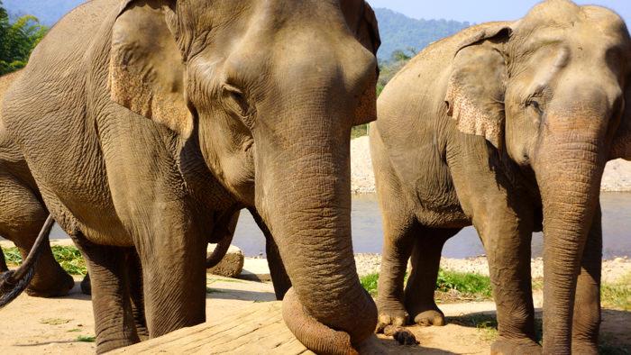 elephant-nature-park-injured-elephant-davidsbeenhere