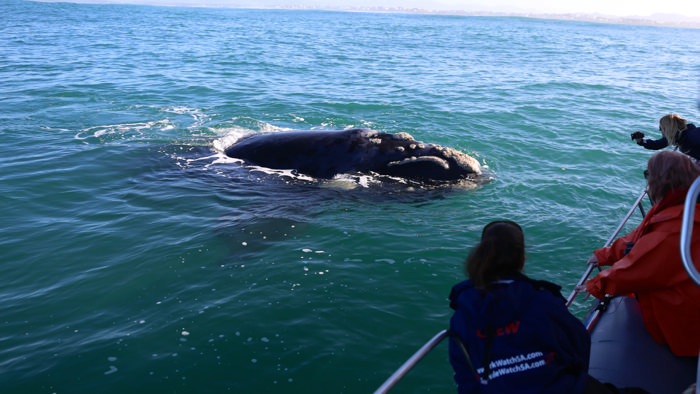right-whale-watching-south-africa-davidsbeenhere
