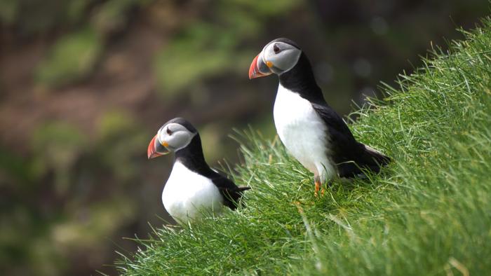 puffins-mykines-faroe-islands-davidsbeenhere