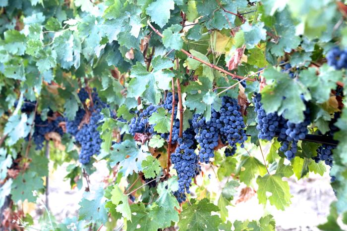 macedonia-vineyards-grapes-davidsbeenhere