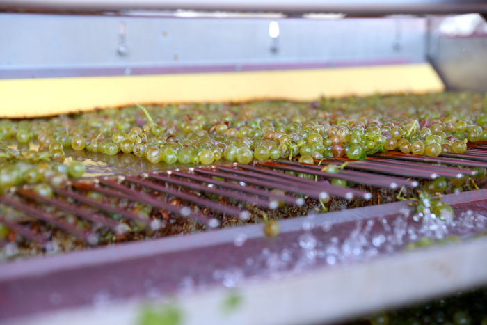 grape-harvest-povardarie-macedonia-davidsbeenhere