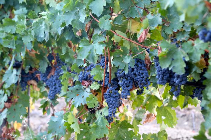 grapes-povardarie-macedonia-davidsbeenhere