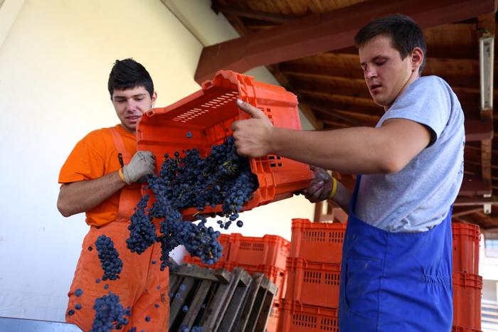 popova-kula-winery-annual-harvest-povardarie-macedonia-davidsbeenhere
