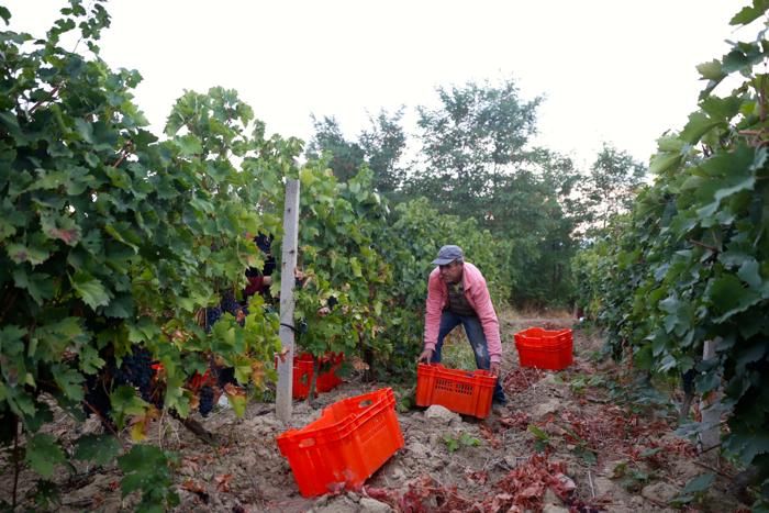 popova-kula-winery-harvest-povardarie-macedonia-davidsbeenhere