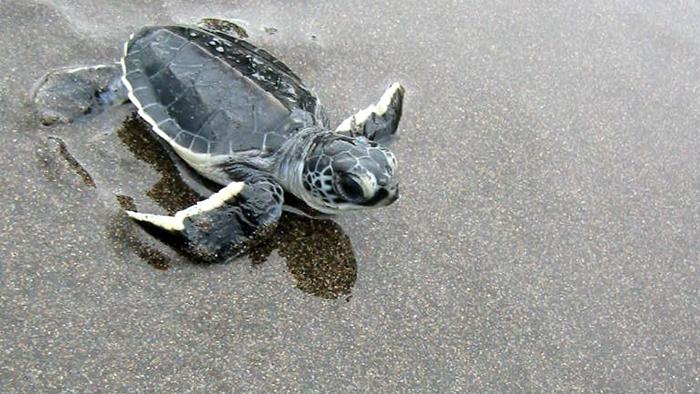 Sea_Turtle_Tortuguero_National_Park_Costa_Rica_Central_America_Davidsbeenhere
