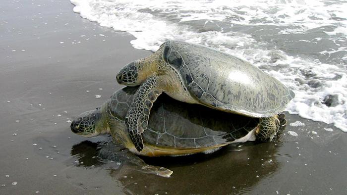 Sea_Turtle_Tortuguero_National_Park_Costa_Rica_Central_America_Davidsbeenhere2