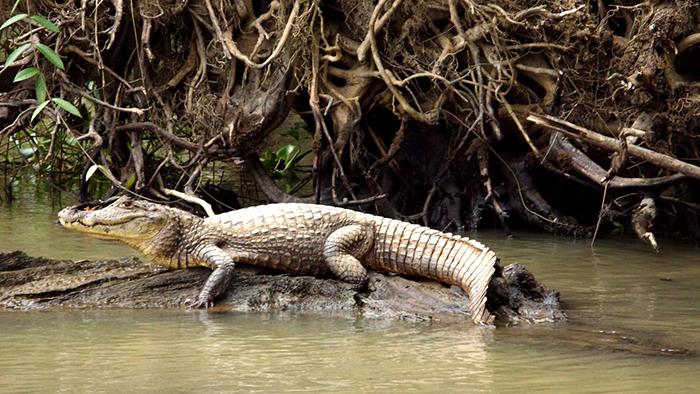 Tortuguero_National_Park_Costa_Rica_Central_America_Davidsbeenhere2