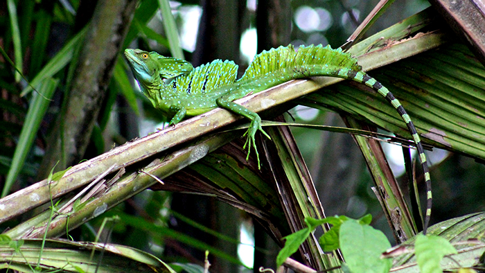 Tortuguero_National_Park_Costa_Rica_Central_America_Davidsbeenhere4