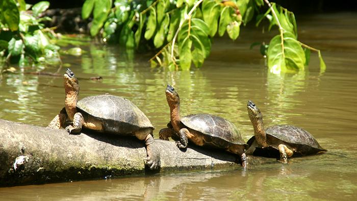 Tortuguero_National_Park_Costa_Rica_Central_America_Davidsbeenhere6