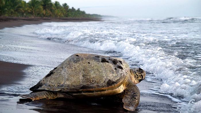 Turtle_Museum_Tortuguero_Costa_Rica_Central_America_Davidsbeenhere